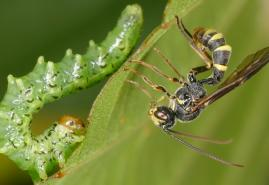 Eure Wespenfotos sind gefragt