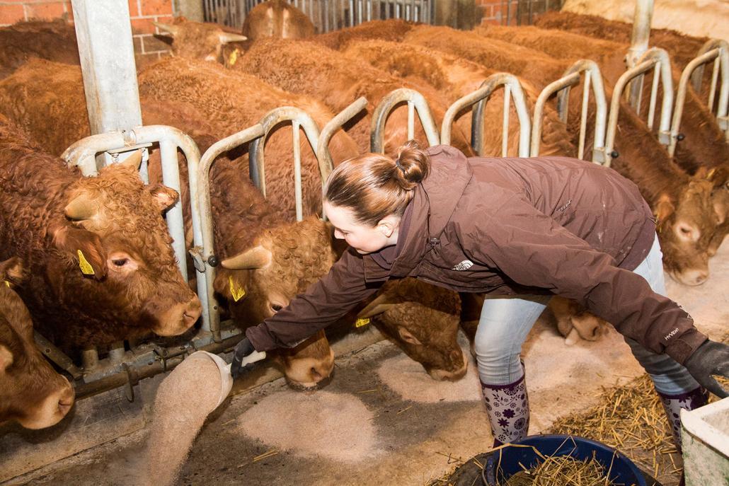 Ungeduldig warten die Rinder auf ihr Futter
