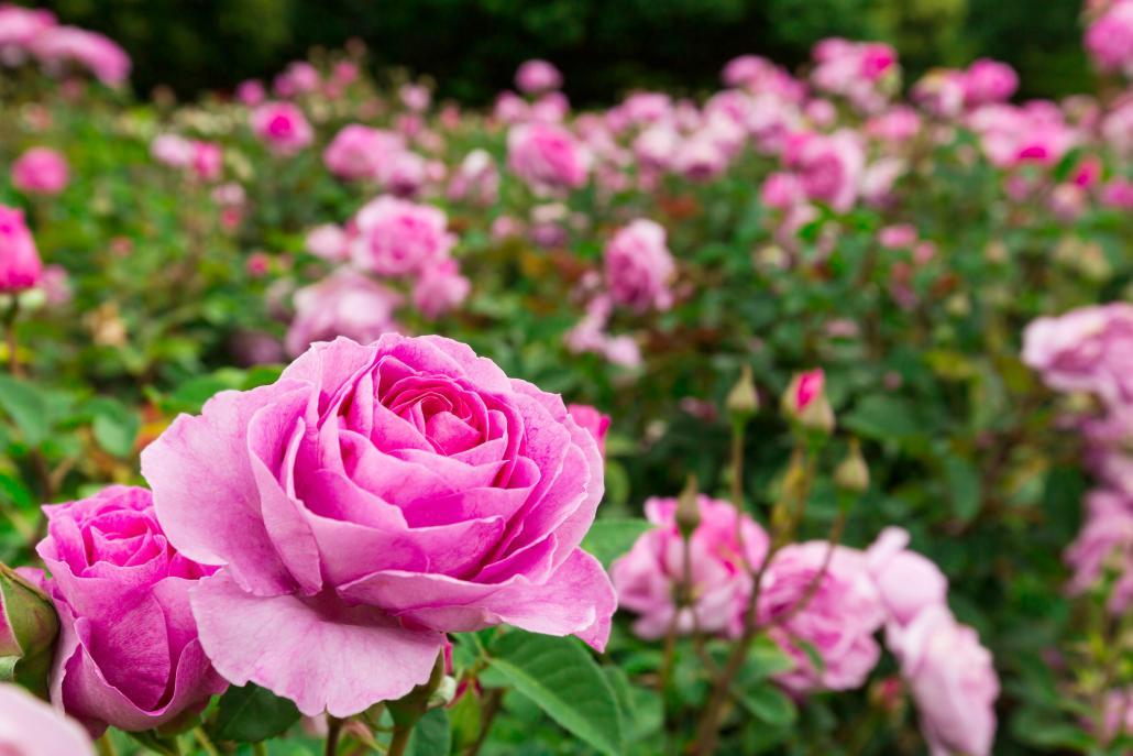 Rosen brauchen im Frühling besondere Pflege