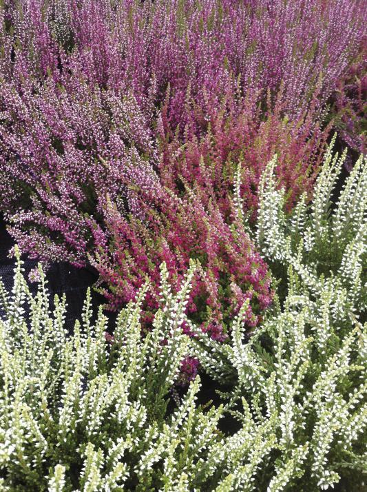 Heidekraut ist nur eine von vielen beliebten Pflanzen im September