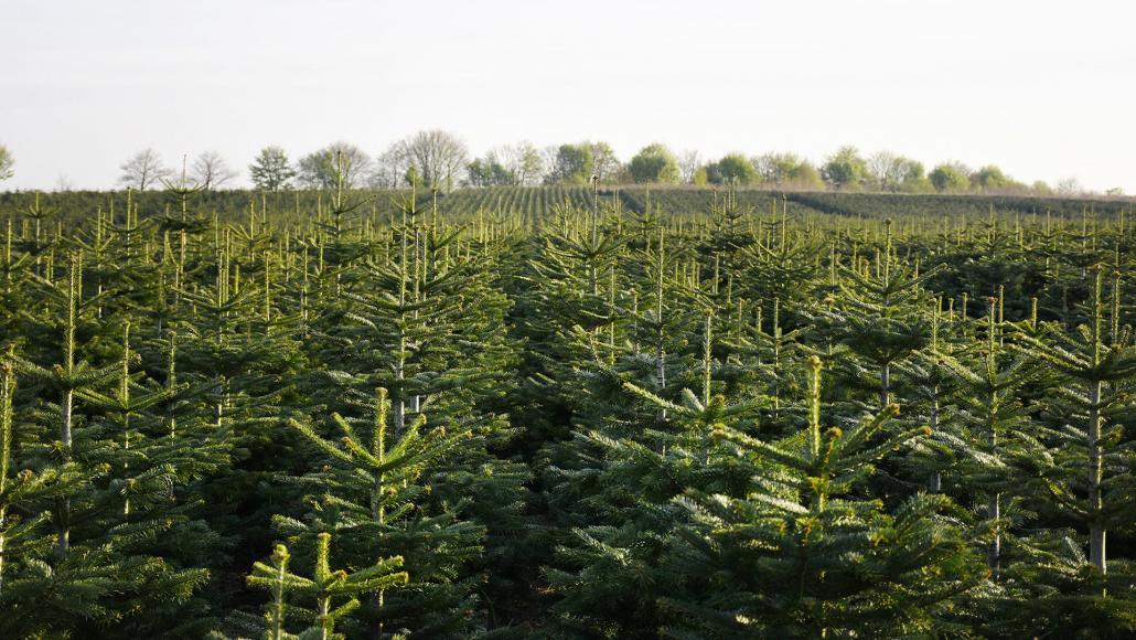Mit einer Anbaufläche von 60 Hektar gehört das Gut Augustenhof zu den größten Weihnachtsbaum-Produzenten in Schleswig-Holstein