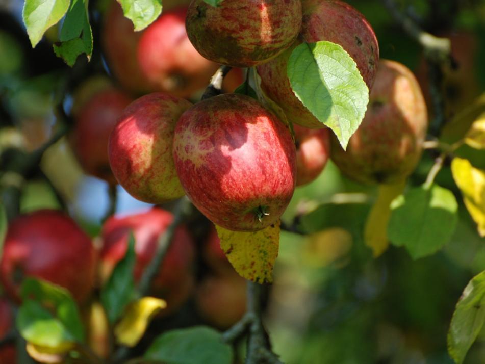 Es lebe der Apfel!