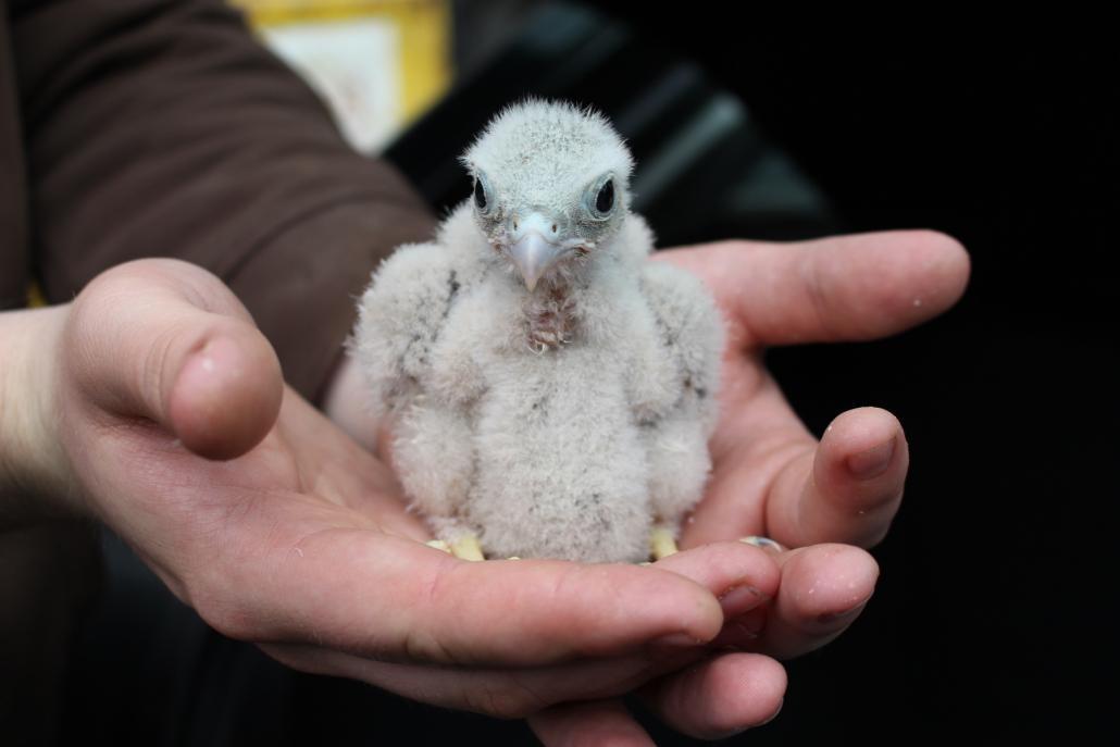 Dieses junge Turmfalkenküken wurde gemeinsam mit drei Geschwisterchen gefunden und in der Wildtierstation in Preetz abgegeben
