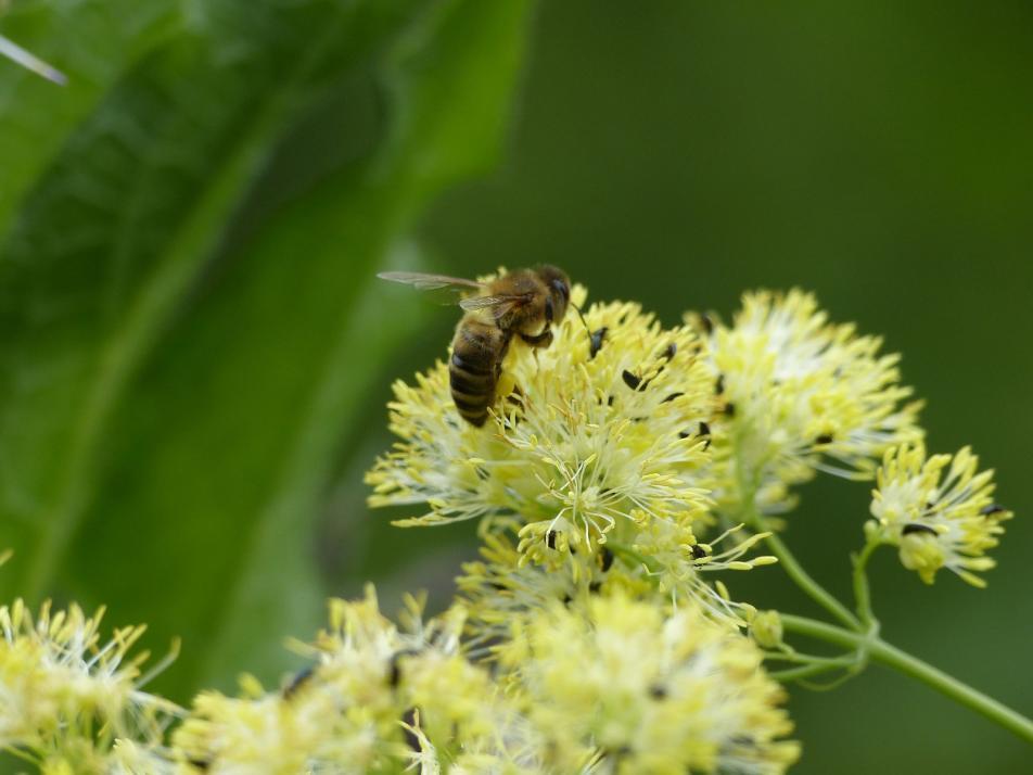 Die Gelbe Wiesenraute ist bei Bienen und Hummeln besonders beliebt