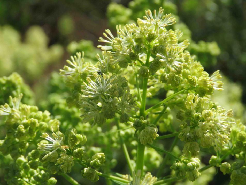 Die wächst in feuchten Gebieten in der Sonne, aber auch im Halbschatten