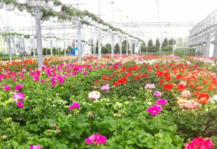 Ein Meer aus Blumen beim Pflanzenhof Paulwitz